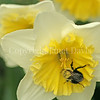 Common Eastern Bumble Bee on 'Ice Follies' Daffodil 1