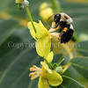 Common Eastern Bumble Bee on Verbascum