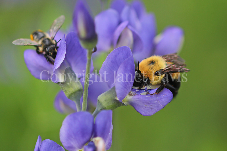 Brown-Belted Bumble Bee on Blue False Indigo 6
