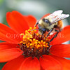 Orange-Belted Bumble Bee on 'Profusion Orange' Zinnia