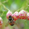 Red-Belted Bumble Bee on Redvein Enkianthus 3