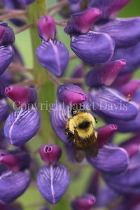 Two-Spotted Bumble Bee on Russell Hybrid Lupine 5
