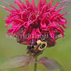 Two-Spotted Bumble Bee on  'Raspberry Wine' Beebalm