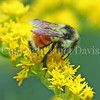 Orange-Belted Bumble Bee on Canada Goldenrod