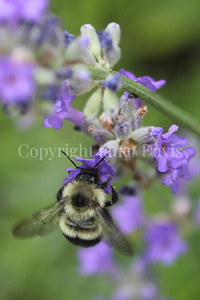 Common Eastern Bumble Bee on English Lavender 1