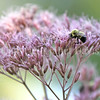 Common Eastern Bumble Bee on Joe Pye Weed 2