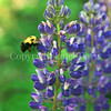 Common Eastern Bumble Bee on Wild Lupine 4