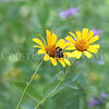 Brown-Belted Bumble Bee on False Oxeye 1