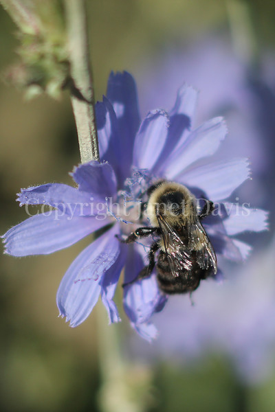 Common Eastern Bumble Bee on Chicory 2