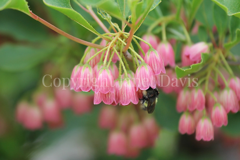 Red-Belted Bumble Bee on Redvein Enkianthus 2