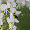 Common Eastern Bumble Bee on Yellowwood 1