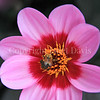 Common Eastern Bumble Bee on 'Happy Single Wink' Dahlia