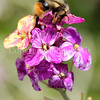 Black-Tailed Bumble Bee on Wallflower 3