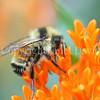 Orange-Belted Bumble Bee on Butterfly Milkweed 2