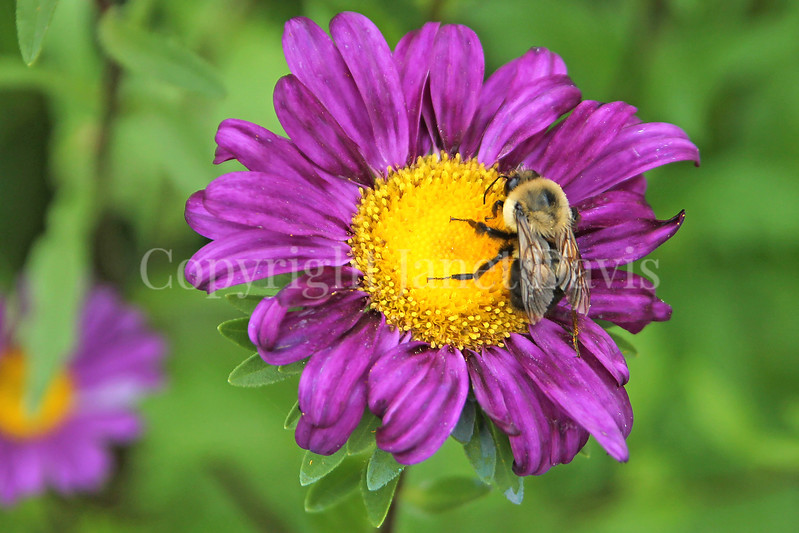 Brown-Belted Bumble Bee on China Aster
