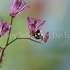 Common Eastern Bumble Bee on Toad Lily 2