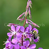 Common Eastern Bumble Bee on Fireweed 2