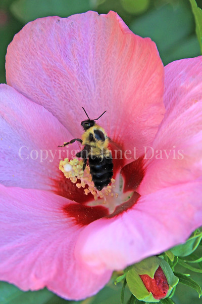 Common Eastern Bumble Bee on Rose-of-Sharon 1