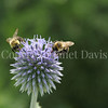 Common Eastern Bumble Bees on Globe Thistle 6