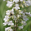 Common Eastern Bumble Bee on Foxglove Penstemon 2