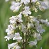 Common Eastern Bumble Bee on Foxglove Penstemon 2