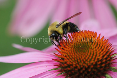 Brown-Belted Bumble Bee on Purple Coneflower 4