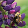 Two-Spotted Bumble Bee on Russell Hybrid Lupine 3