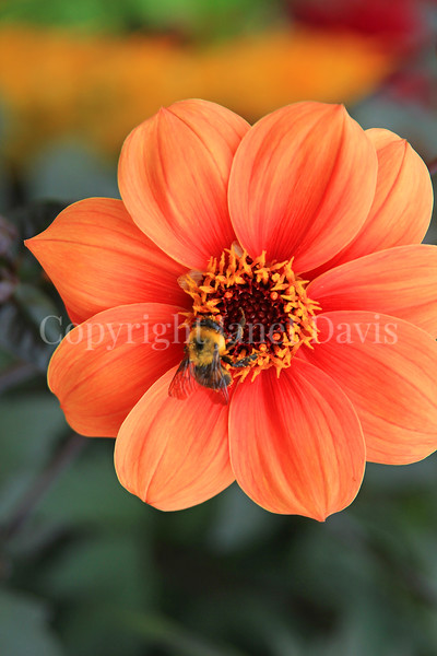 Brown-Belted Bumble Bee on 'Bishop of Oxford' Dahlia 4