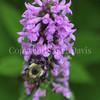 Common Eastern Bumble Bee on 'Hummelo' Alpine Betony