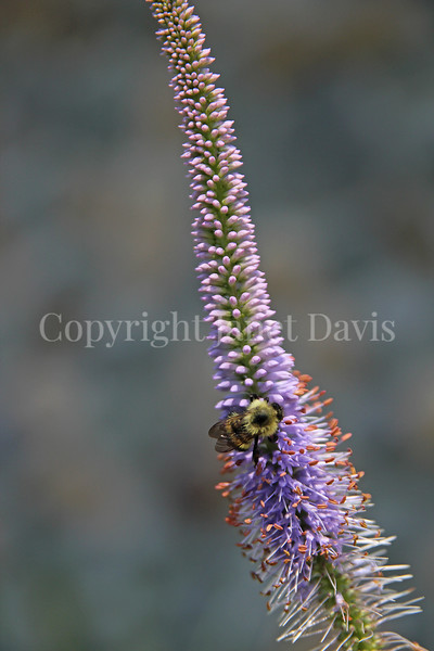 Common Eastern Bumble Bee on 'Fascination' Culver's Root 2
