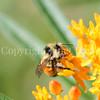 Orange-Belted Bumble Bee on Butterfly Milkweed 1