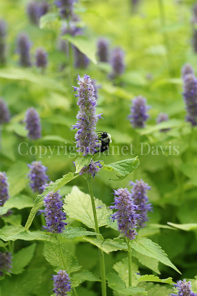 Common Eastern Bumble Bee on Anise Hyssop 3