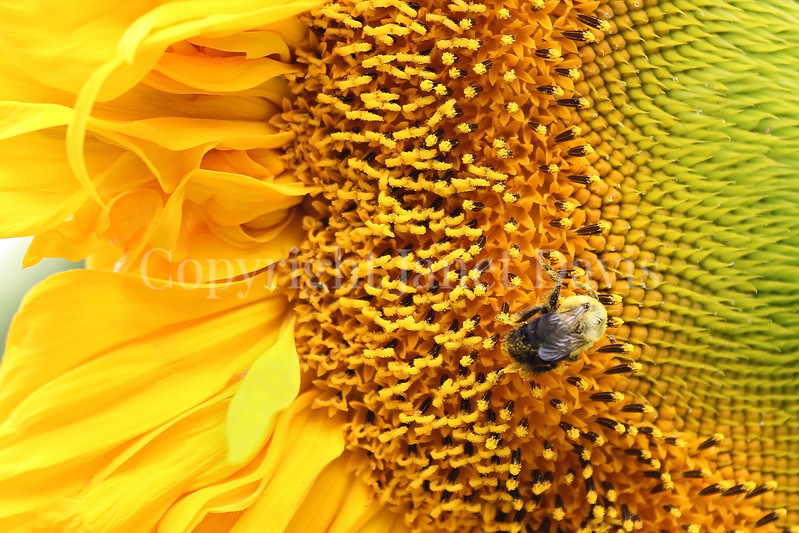 Common Eastern Bumble Bee on 'Russian Giant' Sunflower 2