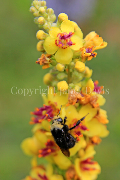 Yellow-Faced Bumble Bee on