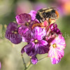 Black-Tailed Bumble Bee on Wallflower 2