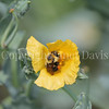 Common Eastern Bumble Bee on Yellow Horned Poppy
