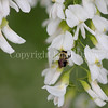 Common Eastern Bumble Bee on Yellowwood 2