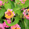 Common Eastern Bumble Bee on Lantana