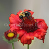 Brown-Belted Bumble Bee on 'Burgundy' Blanket Flower 1
