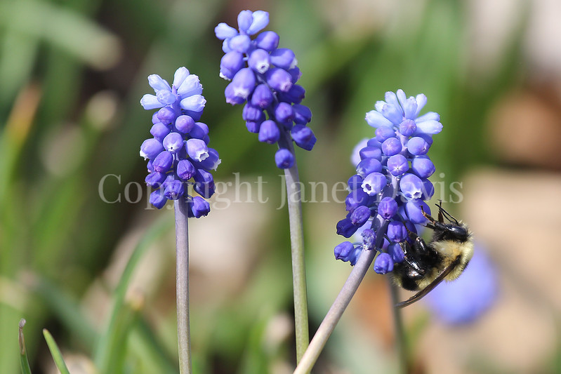 Common Eastern Bumble Bee on Grape Hyacinth