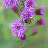 Common Eastern Bumble Bee on  Rocky Mountain Blazing Star 3