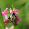 Common Eastern Bumble Bee on Everlasting Sweet Pea 1