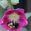 Common Eastern Bumble Bee on Hollyhock