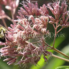 Common Eastern Bumble Bee on Joe Pye Weed 3