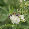 Common Eastern Bumble Bee on 'Ice Ballet' Swamp Milkweed