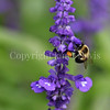Common Eastern Bumble Bee on Mealycup Sage