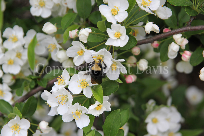 Yellow-Faced Bumble Bee on Sargent's Crabapple