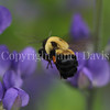Brown-Belted Bumble Bee on Blue False Indigo 4