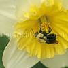 Common Eastern Bumble Bee on 'Ice Follies' Daffodil 2