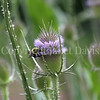 Common Eastern Bumble Bee on Fuller's Teasel